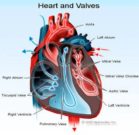 heart and valves